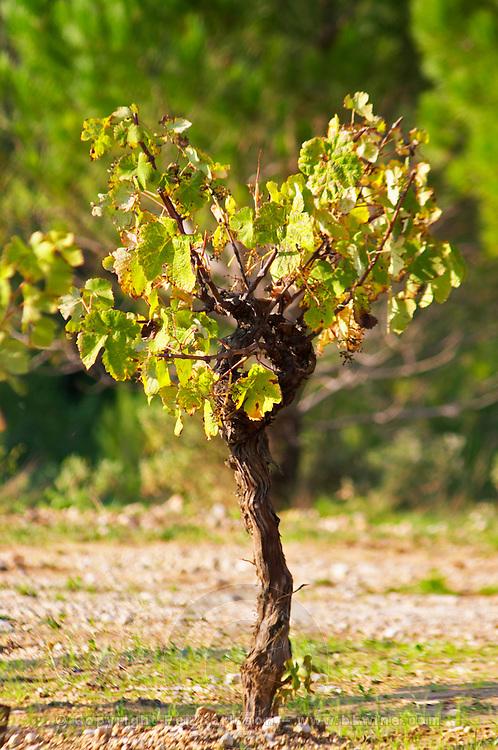 Chateau Mire l'Etang. La Clape. Languedoc. Old, gnarled and twisting vine. France. Europe. Vineyard.