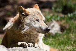 23.04.2011, Wildpark Ferleiten, AUT, Wildpark Ferleiten, im Bild ein Europäischer Wolf liegt in der Mittagssonne // a European wolf is in the midday sun, EXPA Pictures © 2011, PhotoCredit: EXPA/ J. Feichter