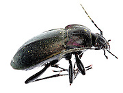 black beetle insect