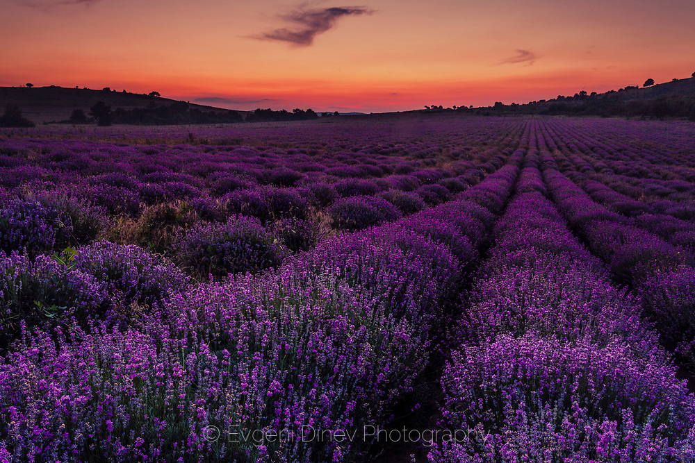 Lavender field of sunset