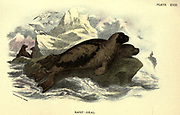 The harp seal (Pagophilus groenlandicus here as Phoca graenlandica), also known as saddleback seal or Greenland seal, is a species of earless seal, or true seal, native to the northernmost Atlantic Ocean and Arctic Ocean. From the book ' A hand-book to the British mammalia ' by  Richard Lydekker, 1849-1915  Published in London, by Edward Lloyd in 1896