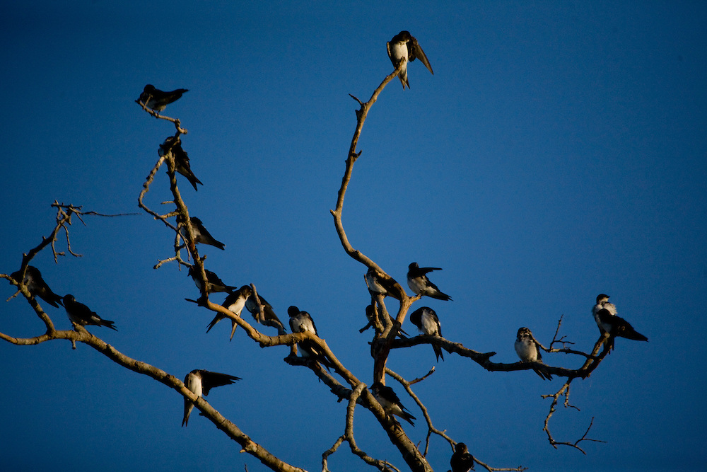 Aquidauana_MS, Brasil...Andorinhas no galho de uma arvore da fazenda Rio Negro no Pantanal...Swallows on the branch tree in the Rio Negro farm in Pantanal...Foto: JOAO MARCOS ROSA / NITRO