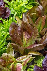 Lettuce 'Rouge d'Hiver'