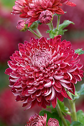 Chrysanthemum 'Barnardos Hope'