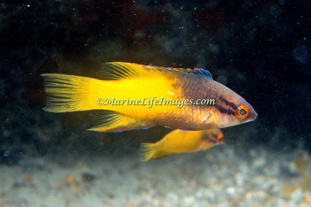 Spotfin Hogfish constantly swim about reefs in Tropical West Atlantic; picture taken Palm Beach, FL.
