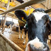 NLD/Soest/20160321 - Sven Kramer start het boerenseizoen 2016, koeien in stal