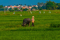 A farmer with his water buffalo, near Hoi An, Vietnam.
