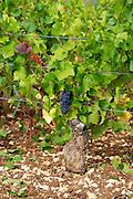 pinot noir vineyard mercurey burgundy france