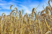 Nederland, Millingen, 7-8-2017Een veld met tarwe, graan. Tarweveld, graanveld. Detail,graanstengels,associatieFoto: Flip Franssen
