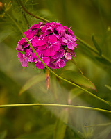 Sweet William. Image taken with a Leica CL camera and 90-280 mm lens.