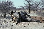 Dead elephant Etosha Game reserve Namibia
