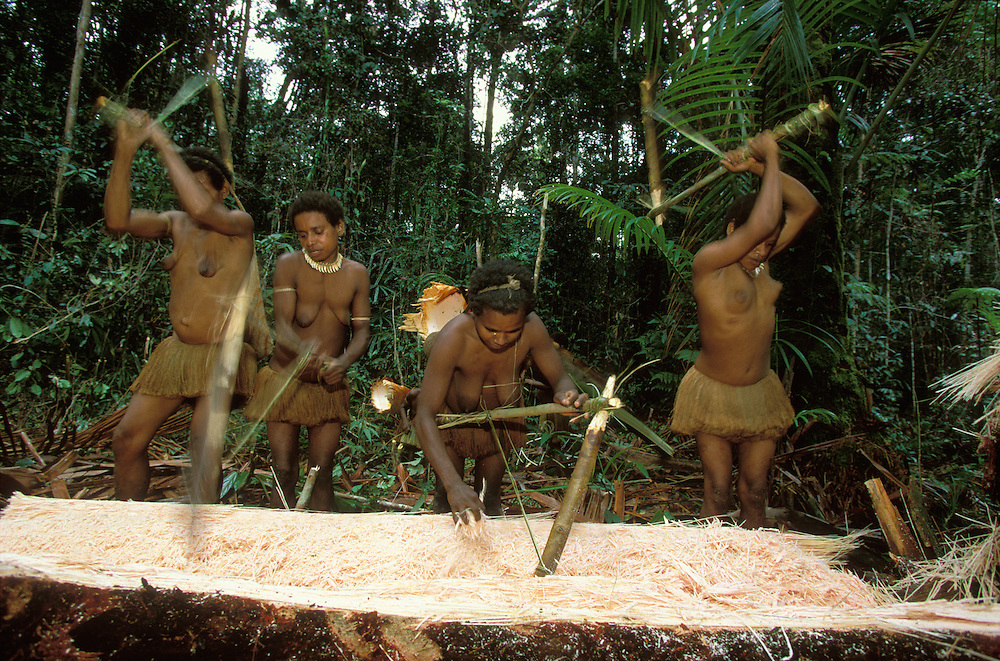Four Kombai women chop and pound the pith of a sago palm with a tool made of of a piece of bamboo in Papua, Indonesia, in order to extract the edible, starchy sago flour. September 2000. The Kombai are a so-called treehouse people who build their homes high up in the trees, and sago is one of their staple foods.