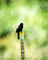 Red-winged Blackbird (Agelaius phoeniceus) at the Sourland Mountain Preserve. Image taken with a Nikon D3s camera  and 500 mm f/4 VR lens.
