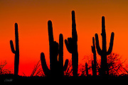 A row of Saguaro cactus (Carnegiea gigantea) stand in silent silhouette as the sun sets in the Arizona desert.  The Saguaro cactus can grow 50-feet-tall, is composed of 85% water, and can weigh over 8 tons.  They are the largest member of the cactus family in the United States. Their skin is smooth and waxy with stout, 2-inch spines clustered on their ribs. The outer pulp can expand like an accordion when water is absorbed, increasing the diameter of the stem and raising its weight by up to a ton.  <br /> <br /> The Saguaro generally takes 47 to 67 years to attain a height of 6 feet, and can live for 150 – 200 years.  During that lifetime, a single cactus will produce 40 million seeds; however, in its harsh native environment, only one of these seeds will survive to replace the parent plant.  Indeed, young Saguaro's must start life under a tree or shrub to prevent them from desiccating.