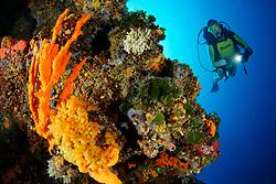 Axinella polycapella, ( ehemals Axinella polypoides ), Filograna implexa, Flabellia petiolata, Korallenriff mit Geweihschwamm, Filigraner Roehrenwurm, Faecheralge, und Taucher, Coralreef with Orange antler sponge, filigreed coral worm and fan seaweed and scuba diver, MR Yes