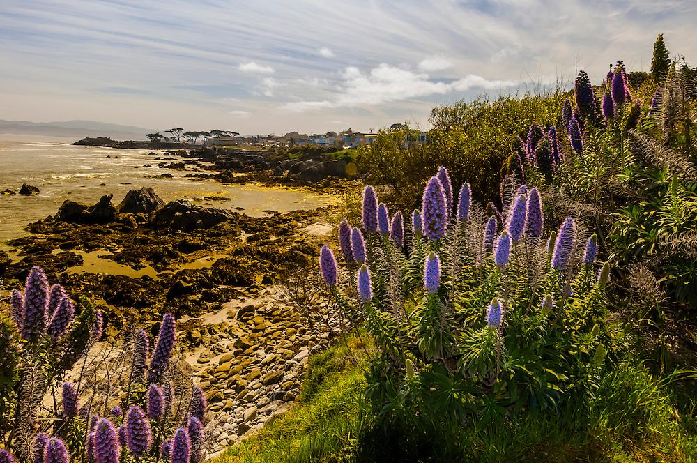 California Lupine, Pacific Grove, Monterey Peninsula, California USA