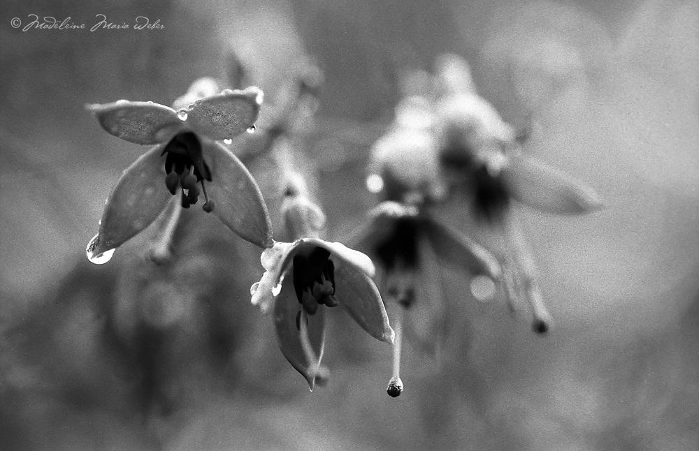 Fuchsia / dr051