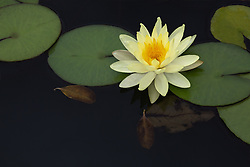 Water Lily, yellow, #7