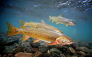 Bonneville Cutthroat Trout<br />