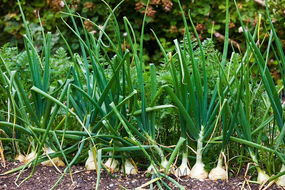 English onions vegetables, alliums, growing in kitchen garden, Sussex
