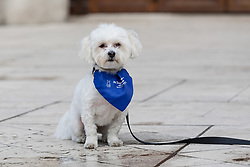 © Licensed to London News Pictures. File picture dated 20/02/17. Vinnie the dog outside at the Mayor's and City of London court in London on 20th February 2017. An appeal hearing at the High Court has been brought by the Kuehn's against the blanket no pet policy clause in the leasehold agreement issued by their property management company, Victory Place. The appeal follows a previous hearing at the Mayor's and City of London magistrates court held in February 2017 when Victory Place Management Company brought and won an action to evict the couples dog, Vinnie, a Maltese-Yorkshire terrier cross. The Kuehn's have appealed against the original judgement and are challenging the legality of blanket no pet policies in leasehold contracts. Victory Place Management Company have lodged a counter appeal. Photo credit: Vickie Flores/LNP