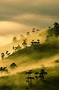 Dawn mist on euphorbia trees in Ngorongoro Crater, Tanzania.