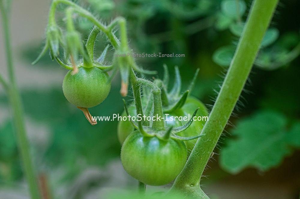 Green tomatoes developing on a tomato bush in an urban organic garden