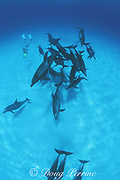 snorkeler uses underwater scooter to play with wild Atlantic spotted dolphins, Stenella frontalis, Little Bahama Bank, Bahamas, MR 237