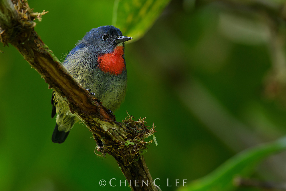 The Black-sided (or Bornean) Flowerpecker (Dicaeum monticolum) is the only montane flowerpecker in Borneo and is endemic to the island. Kinabalu National Park, Sabah, Malaysia (Borneo).