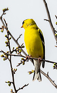 Goldfinch perched among early spring buds on sunny May day in the UW-Madison Arboretum. Photo taken Sunday, May 3, 2020.