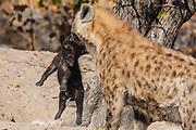 A spotted hyena female carrying her cub (Crocuta crocuta) to the entrance of the den, Moremi, Okavango Delta, Botswana