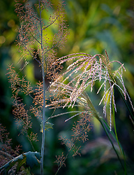 Macleaya cordata - Plume poppy - flower with Miscanthus