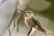 A female Anna's hummingbird (Calypte anna) waits for a rainstorm to pass from the cover of a rhododenron in Snohomish County, Washington.