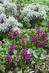 Hyacinthus orientalis 'Woodstock' with Helichrysum stoechas 'White Barn' and Geranium macrostylum