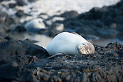 A white Hawaiian Monk Seal rests on the rocks at Kaena Point on Oahu.