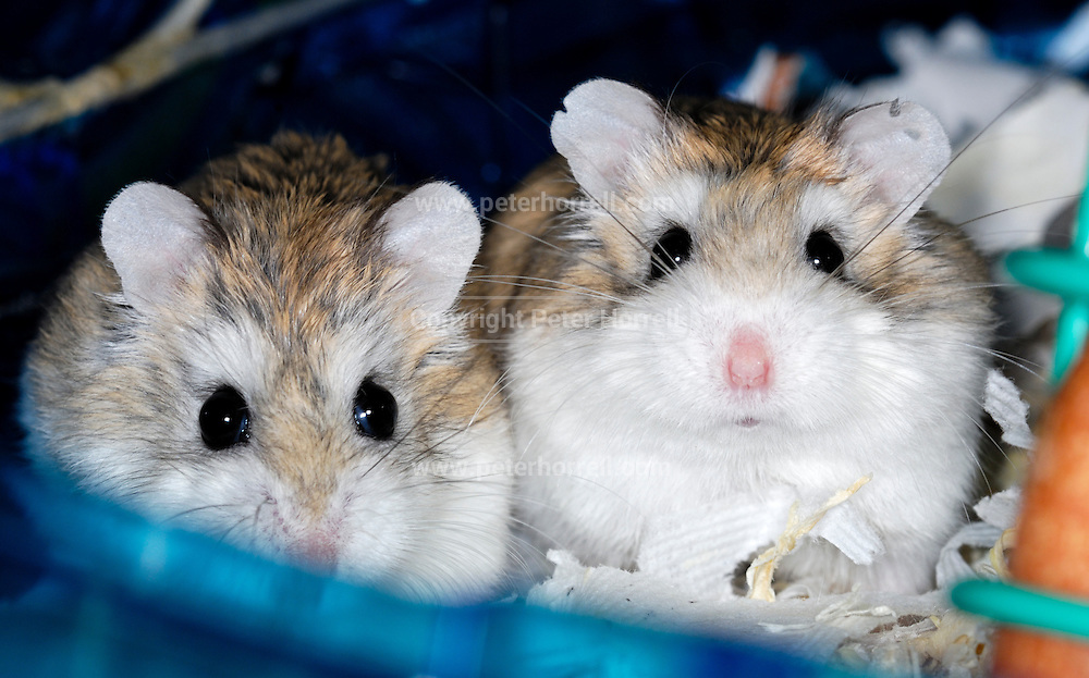 UK, October 17 2010: Dwarf hamsters.  Copyright 2010 Peter Horrell