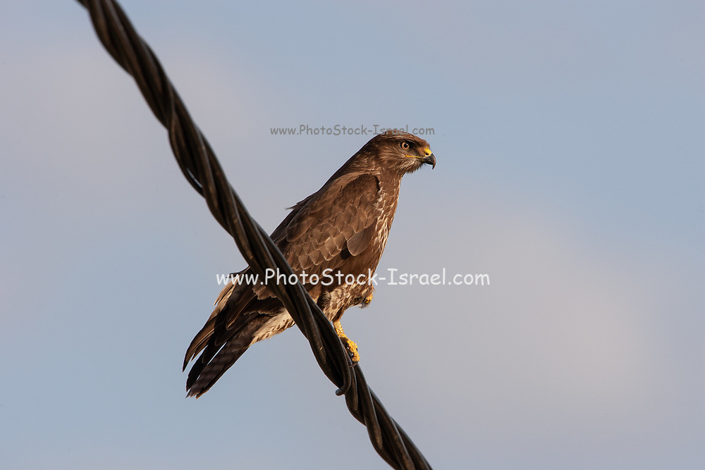 Common buzzard (Buteo buteo) Perching. This bird of prey is found throughout Europe and parts of Asia, inhabiting open areas, such as farmland and moors, and wooded hills. It grows up to 50 centimetres in length and feeds on small birds, mammals and carrion. Photographed in Israel in January.