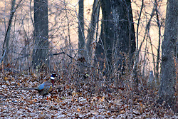 20171205 - Moraine View State Park near Ellsworth Illinois -  Ring-Necked Pheasant.
