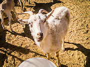 16 JUNE 2012 - GILA RIVER INDIAN COMMUNITY, PHOENIX, AZ: Goats in a pen on Ibrahim Swara-Dahab's goat farm. Swara-Dahab, 57, left Somalia in 1993. He lived in a refugee camp in Kenya for five years before coming to the United States and settled in the Phoenix area in 2006. He got a $10,000 loan from the micro-enterprise development program for refugees. The money allowed him to buy dozens of goats and sheep, each worth $130 to $200, turning his one-sheep operation into a money-making, time-consuming herd. He now operates a full time goat ranch and slaughter house. He slaughters his goats and sheep in the Muslim halal tradition. Most of his customers are fellow refugees and Muslims who prize goat meat or eat only meat slaughtered according to halal traditions. His butchering operation is on the Gila River Indian Community, near Laveen, AZ, just southwest of Phoenix.    PHOTO BY JACK KURTZ