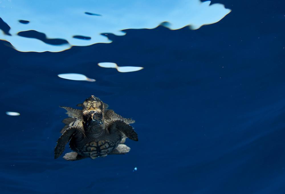 Baby sea turtle in the open ocean.