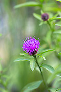 Lesser Knapweed wildflower in garden in England