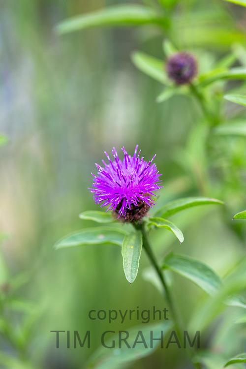 Lesser Knapweed wildflower in garden in England