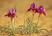 Israel, Negev near Yeruham, purple, Iris petrana, Petra Iris, Yeruham Iris in natural habitat