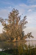 Flock of cormorant birds in tree on Middle River, Bacon Island, San Joaquin County, Sacramento-San Joaquin River Delta, California