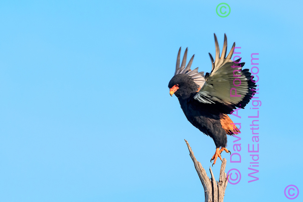 Bateleur lifts off from a dead tree, Khwai Game Reserve, South Africa, © David A. Ponton