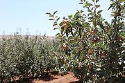 Apple Orchard at Metula Israel