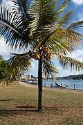 South Pacific, The Republic of Vanuatu Coconut Tree