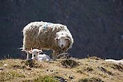 Sheep grazing, El Choro, Bolivia