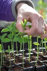 Pinching out sweet pea seedlings with fingers to encourage bushy growth.