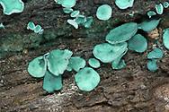 Green Elfcup - Chlorociboria aeruginascens
